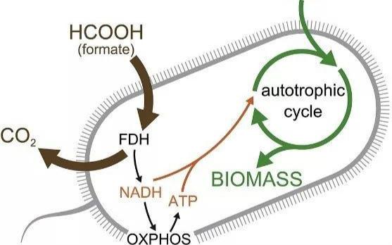 3年后第二篇Cell:第一次,大肠杆菌将CO2转化为全生物质碳!