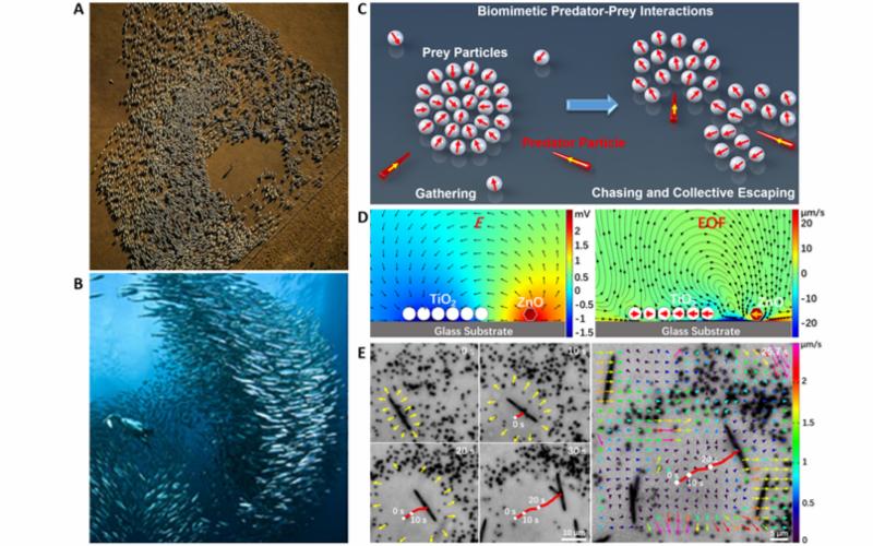 人工仿生构建捕食者-猎物群活性微米马达系统